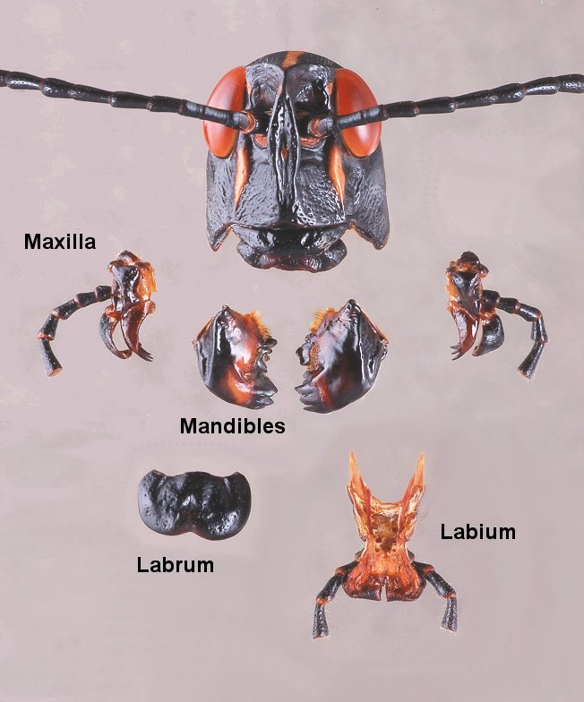 Mouthparts ENT 425 \u2013 General Entomology