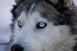 Small Of Pictures Of Huskies
