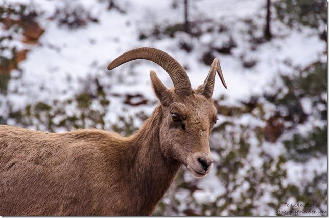 Desert Bighorn Sheep Zion National Park SR9 west Utah
