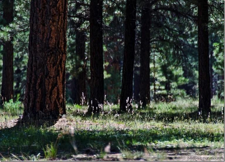 Sun on grass Mile & a Half Lake camp SR212 Kaibab National Forest Arizona