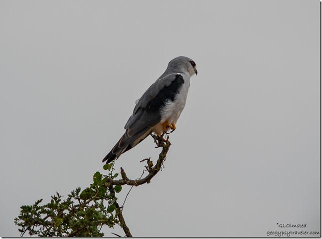 Black-shouldered Kite Addo Elephant National Park South Africa