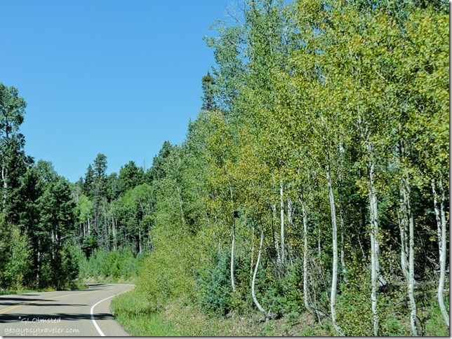 Aspen turning SR67 North Rim Grand Canyon National Park Arizona
