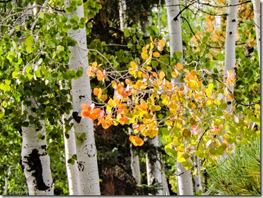 Fall aspen Kaibab Kaibab National Forest Arizona