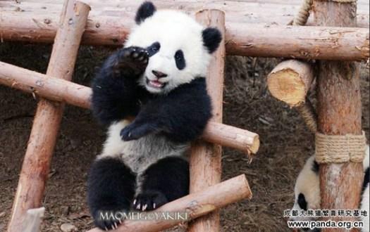 Panda Changdu