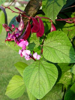 Inspirational Hyacinth Purple Hyacinth Bean Garden Housecalls Hyacinth Bean Vine Edible Hyacinth Bean Vine Toxic To Dogs Purple Pods Flowers
