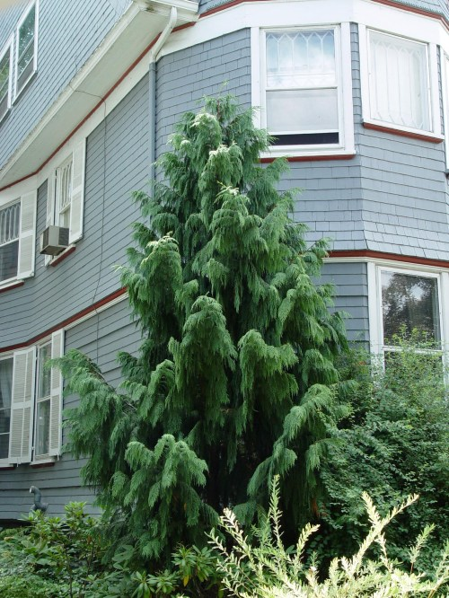 Medium Of Weeping Alaskan Cedar