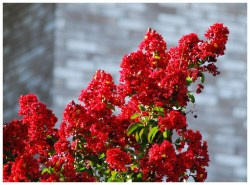 Small Of Red Rocket Crape Myrtle