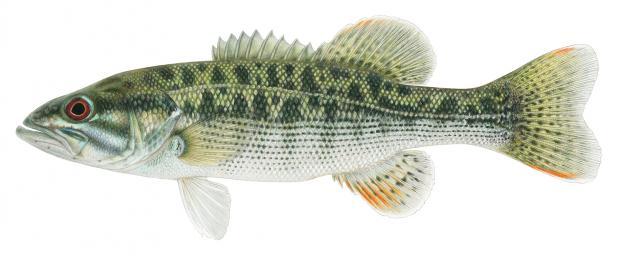 Fish Identification Wildlife Resources Division