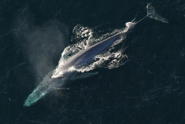 Study Blue Whales Can\u0027t Avoid Barges, Ocean Liners