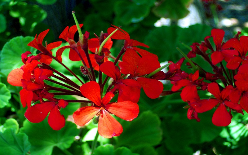 How to Collect Geranium Seeds from Plant (With Pictures) - Geranium