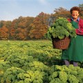 picking grunkohl in Niedersachsen