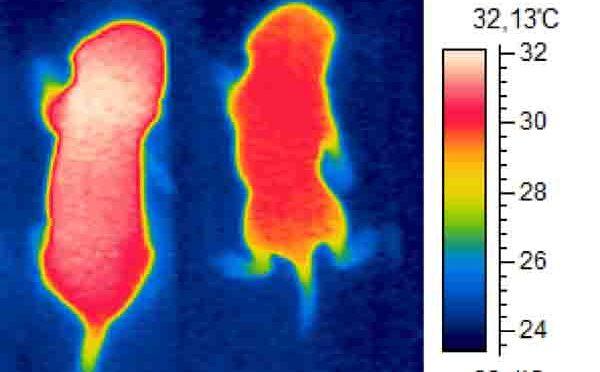 Lungenmedikament macht Mäuse schlank