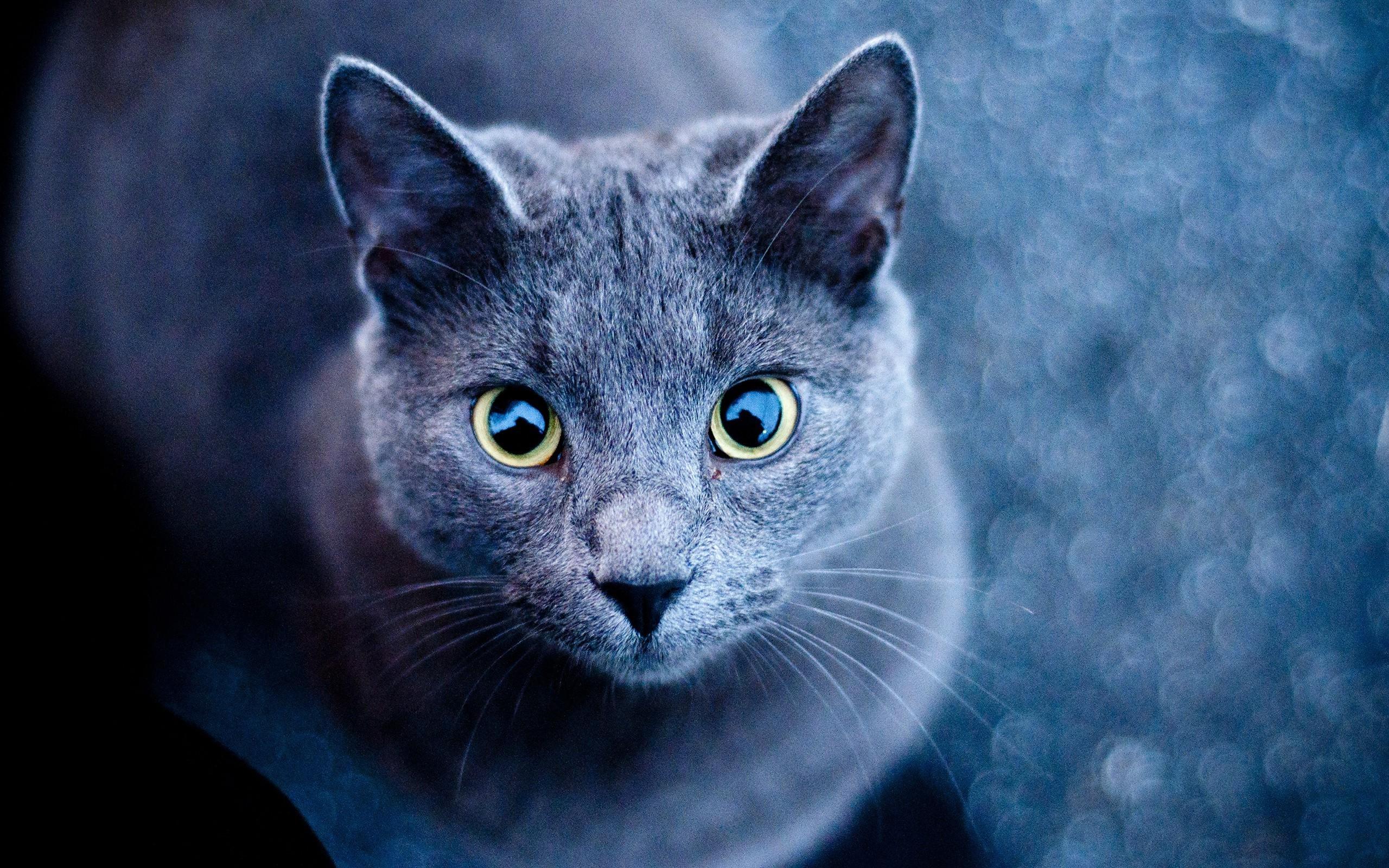 Ios 11 Hd Wallpaper Wallpaper 2560x1600 Px Animals Cat Russian Blue