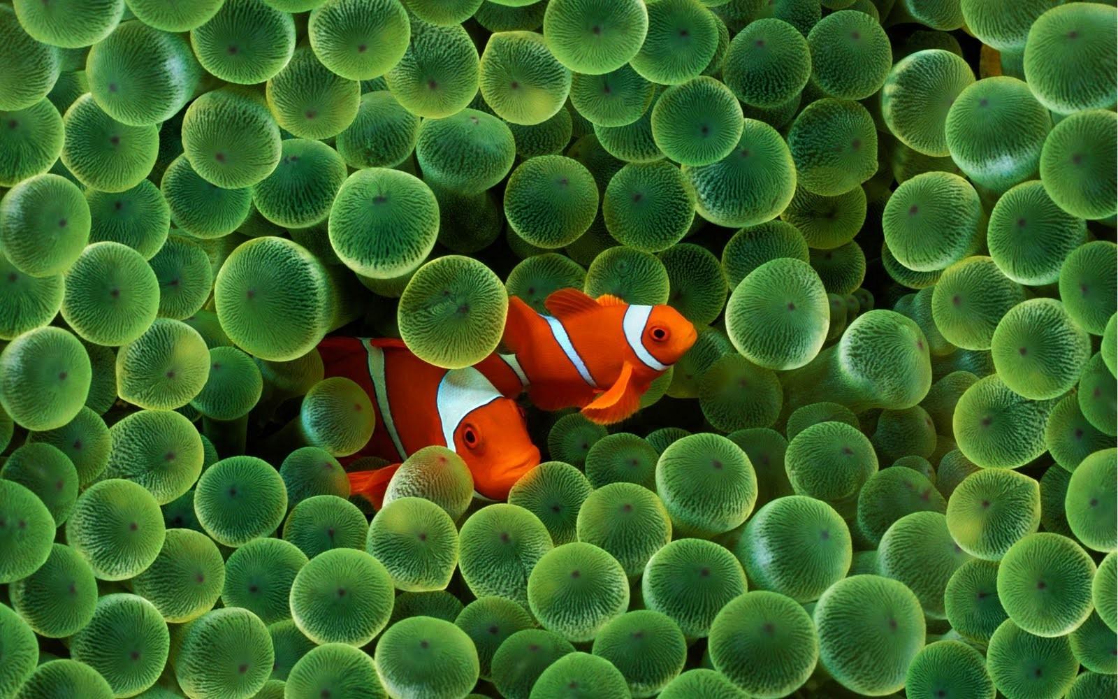 Apple Clownfish Wallpaper Iphone X Wallpaper Animals Water Underwater Iphone Coral Reef