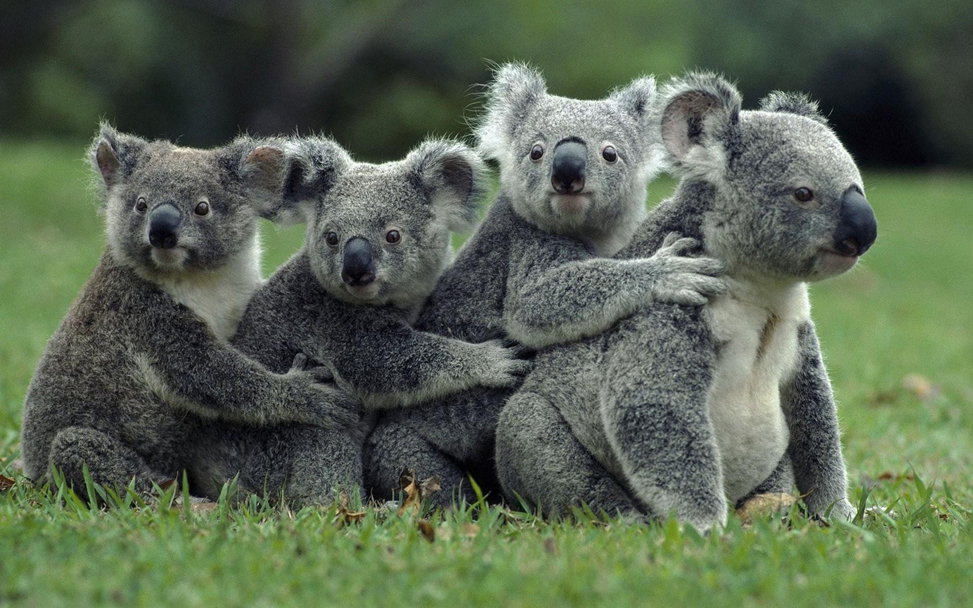 Cute Baby Hug Wallpapers Baggrunde Dyr Dyreliv Koalaer Fauna Pattedyr