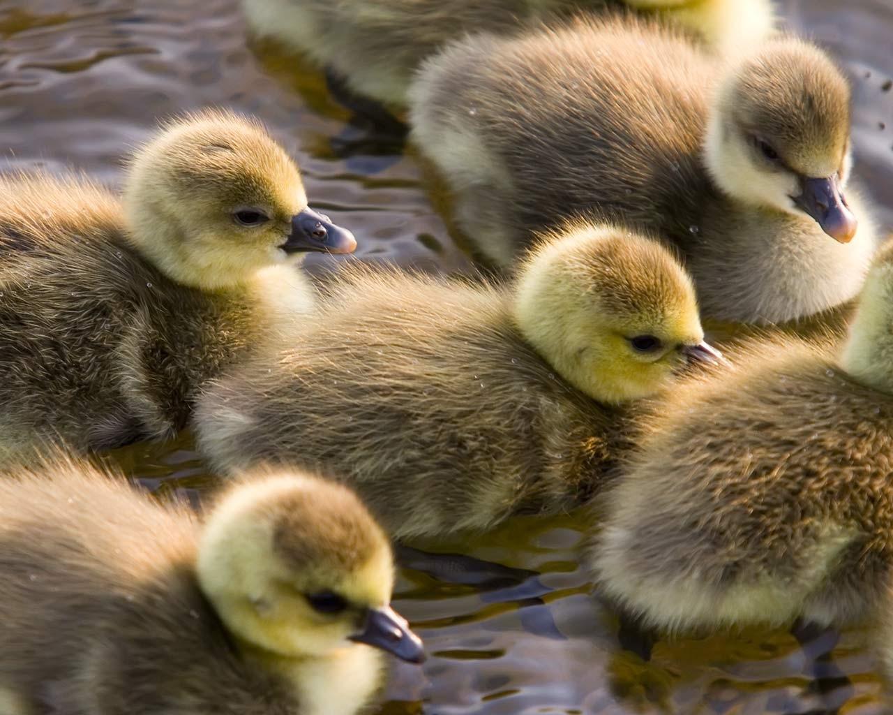 Cute Duckling Wallpaper Sfondi Uccelli Animali Natura Cuccioli Anatra Oca