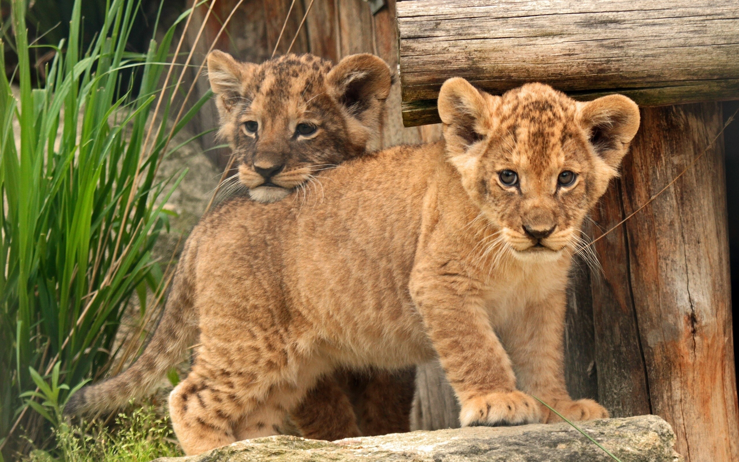 Cute Lion Cubs Hd Wallpapers Fond D 233 Cran Lionceau B 233 B 233 Des Gamins Lion 2560x1600