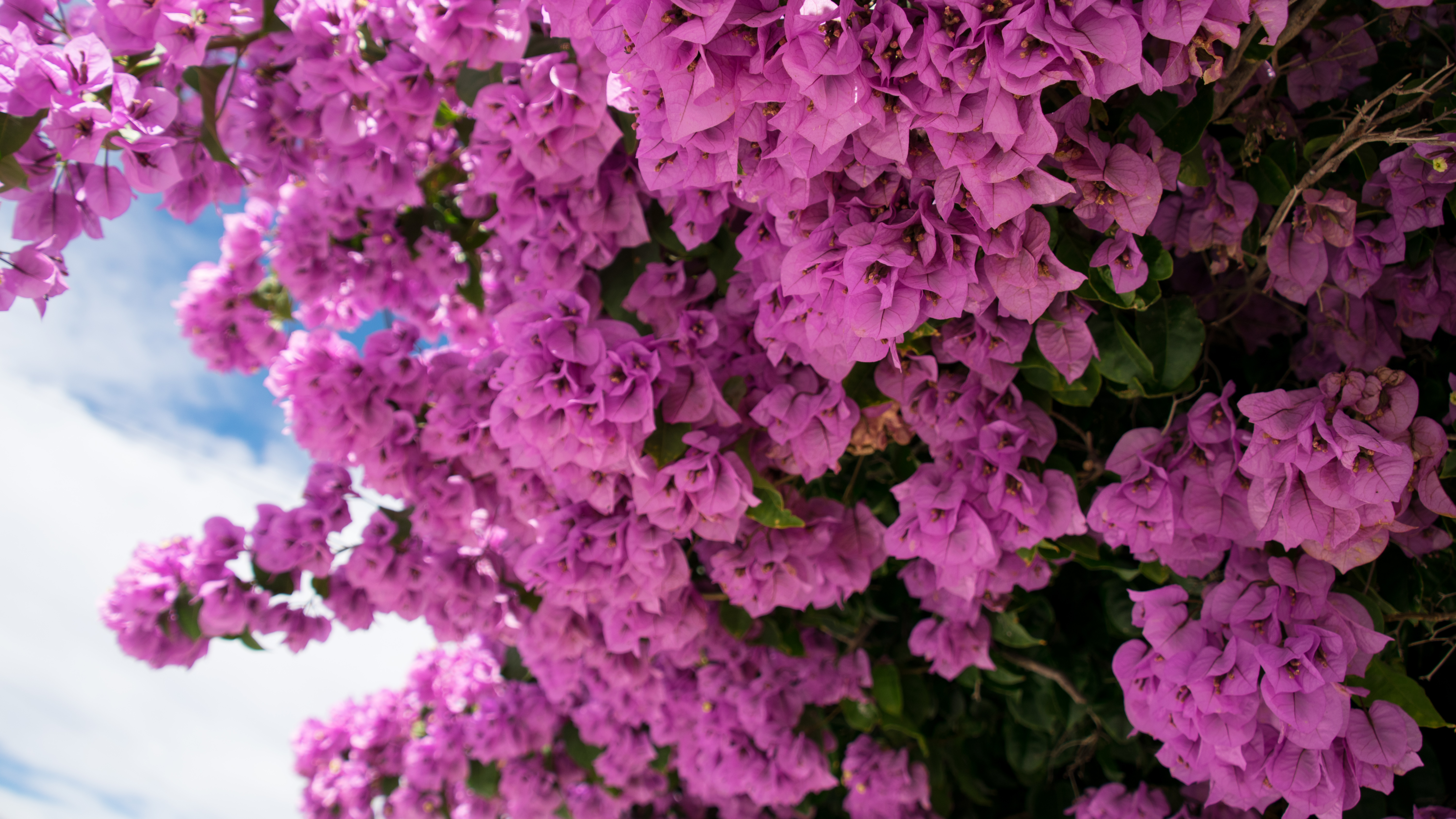 Bougainvillea Wallpaper Wallpaper Flowers Pink Nature Bougainvillea 6000x3375