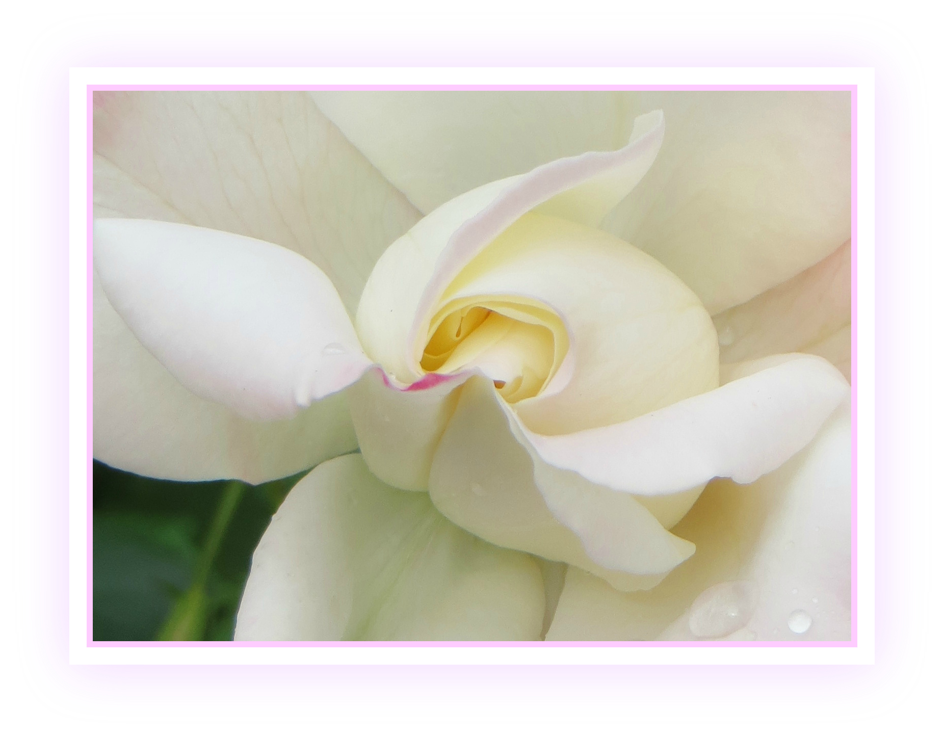 Regal Rosa Wallpaper White Nature Macro Petals Frame Curvy Romantic