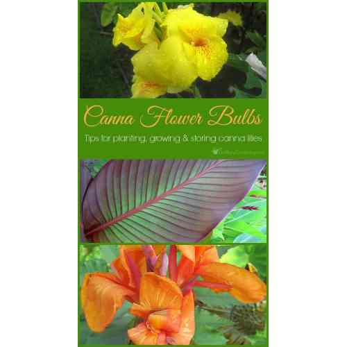 Medium Crop Of Canna Lily Bulbs