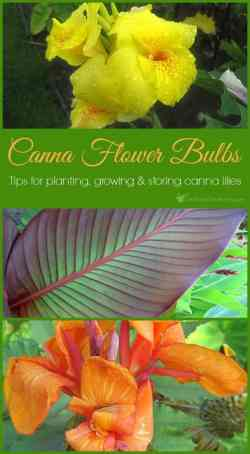 Small Of Canna Lily Bulbs