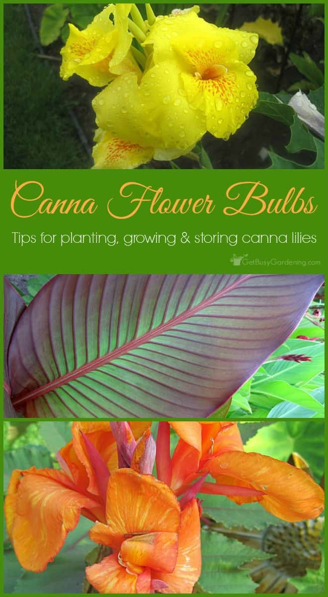 Large Of Canna Lily Bulbs