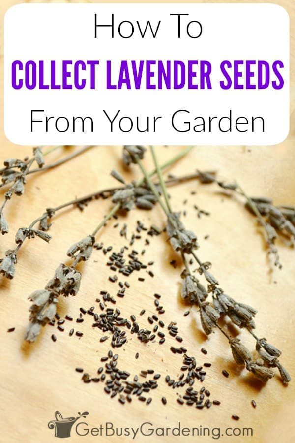 How To Collect Lavender Seeds From Your Garden - Get Busy Gardening