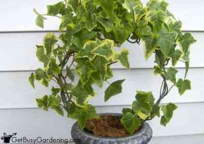 English Ivy Plants Can Clean The Air - Get Busy Gardening