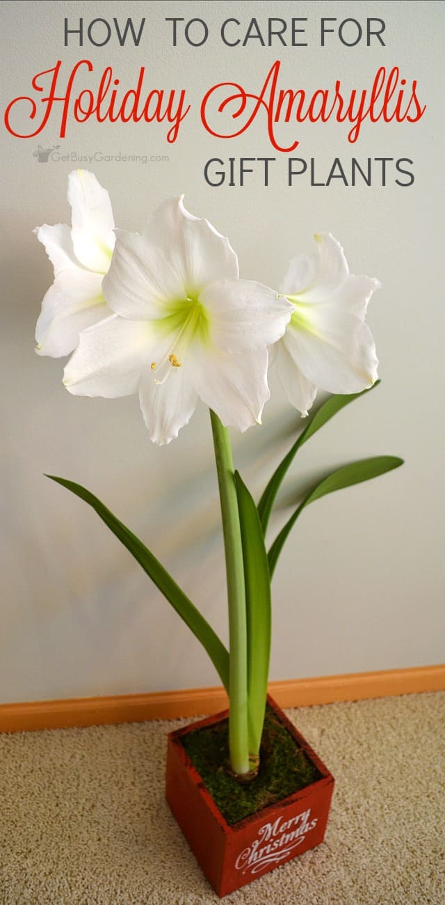 Amaryllis plants are popular holiday plants and make excellent gifts keeping these gorgeous plants