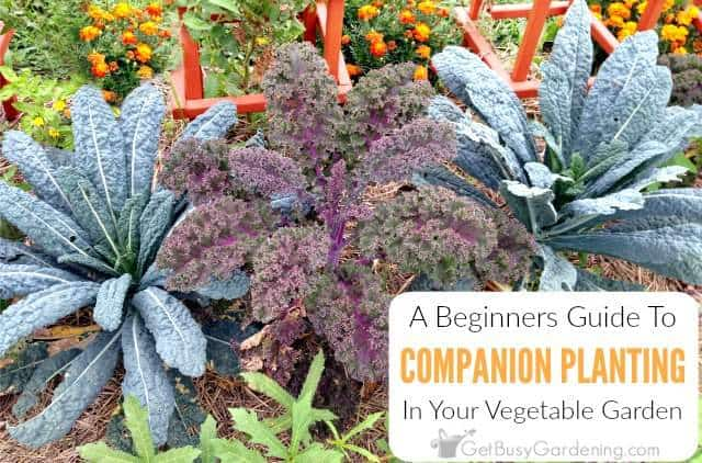 A Beginner\u0027s Guide To Companion Planting - Get Busy Gardening