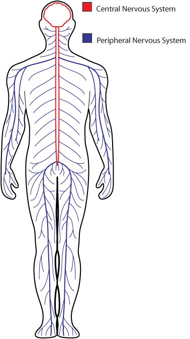 easy diagram of the nervous system