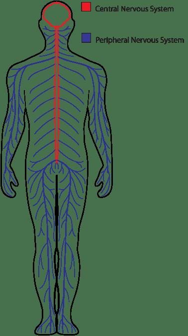 blank drawing of human body at getdrawings com