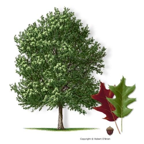 Medium Of Pecan Tree Leaves