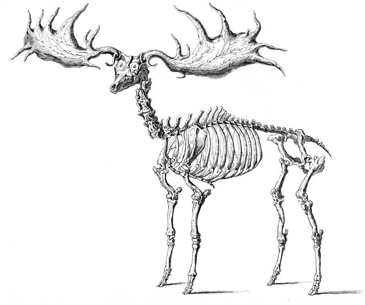 Animal Skeleton Drawing at GetDrawings Free for personal use