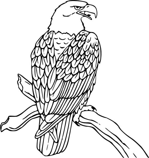 Eagle Feathers Drawing at GetDrawings Free for personal use