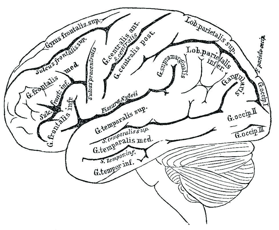 Human Head Anatomy Drawing At Getdrawingscom Free For