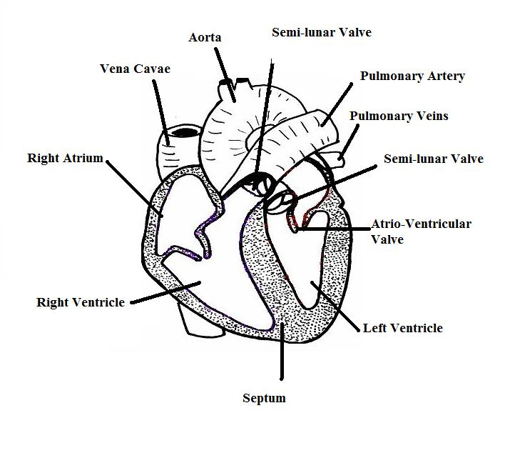 bird heart diagram bird diagram