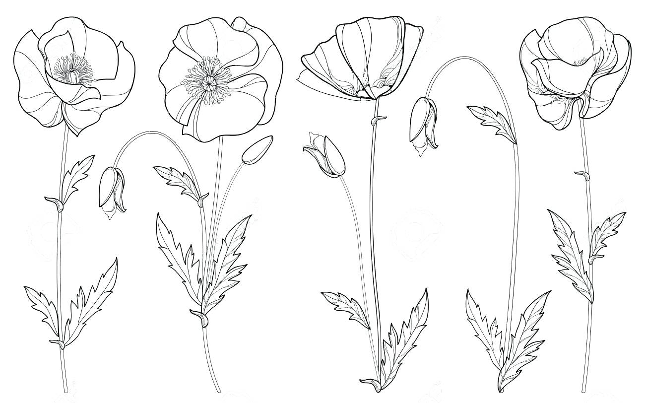 Poppy Outline Drawing At Getdrawingscom Free For