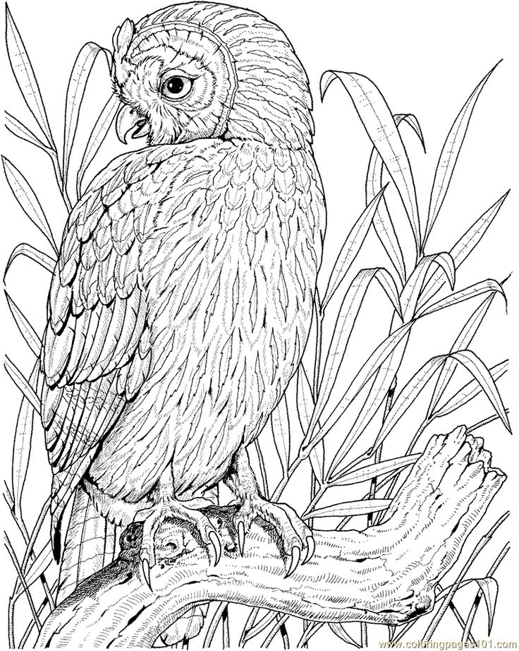 Realistic Owl Drawing at GetDrawings Free for personal use