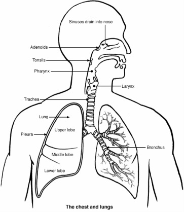 Respiratory System Drawing at GetDrawings Free for personal