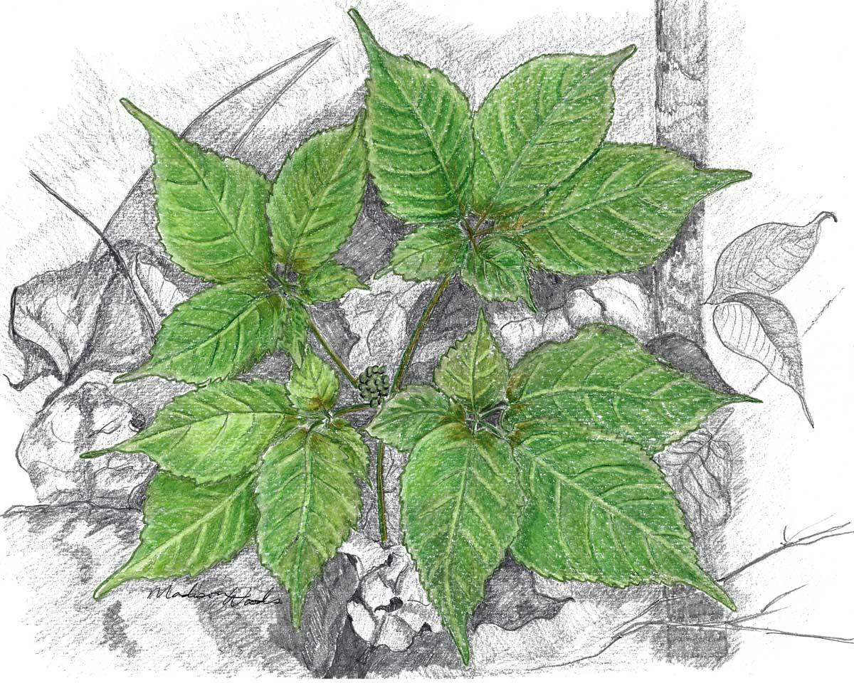 Ginseng Pflanze Ginseng Drawing At Getdrawings Free For Personal Use Ginseng