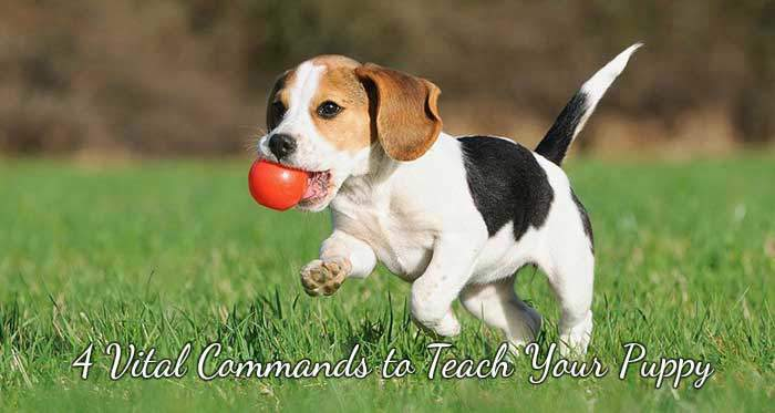 4 Vital Commands to Teach Your Puppy