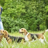 Beagle Puppy Obedience Training - Methods Specific To Your Breed‎