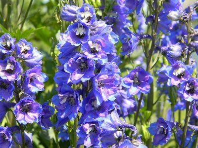 The Best Tips On How To Use Blue Garden Flowers \u2013 Get Gardening Tips