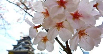 sakura survey top