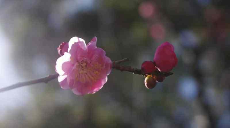 Ume-Plum-Blossom-At-Shukkei-en-Garden-342015-3