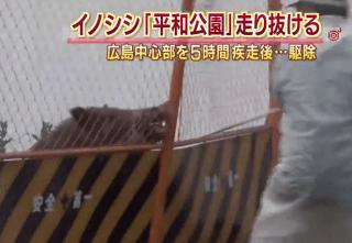 wild boar in hiroshima city