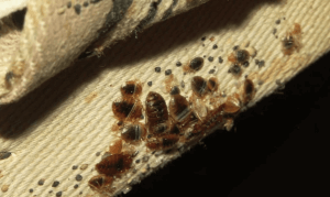 Where Do Bed Bugs Come From In Your House
