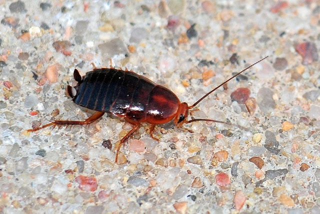 Everything You Need to Know about Wood Roaches - baby american cockroaches
