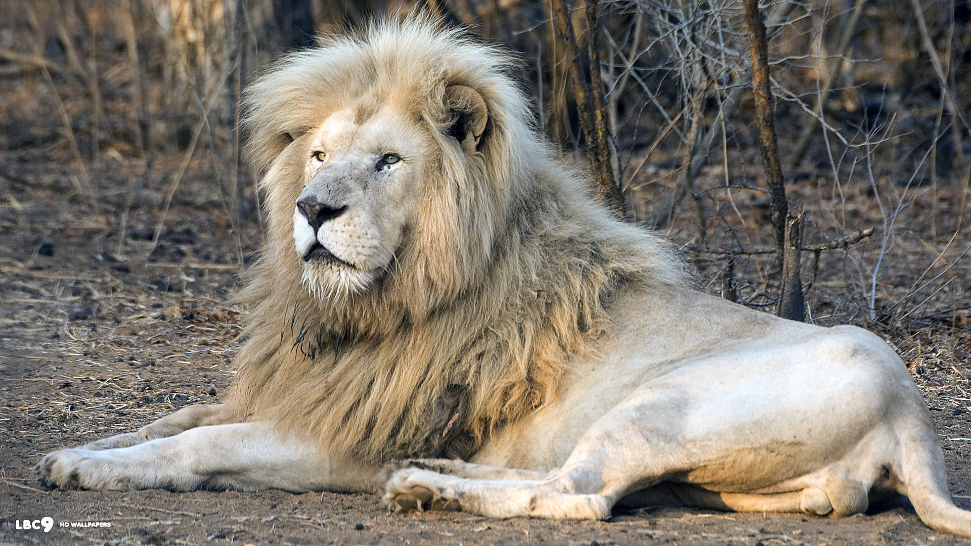 Angry Lion Wallpaper Hd 1080p Lion Wallpaper Desktop 68 Images